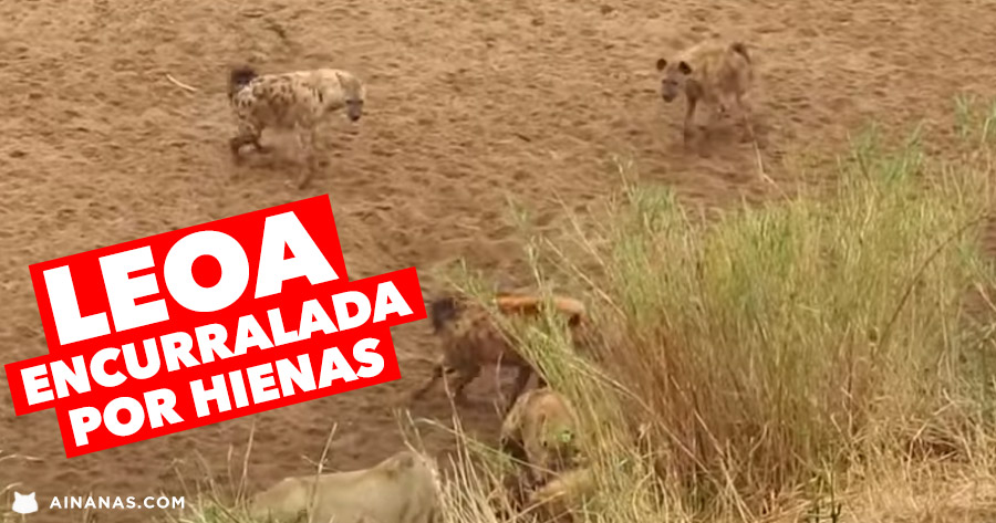 Leoa ENCURRALADA por hienas pede reforços!