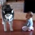 Husky e Bebé Falam a Mesma Língua (CUTE)