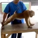 Macaco do Ginásio: vai ficar bombadão!
