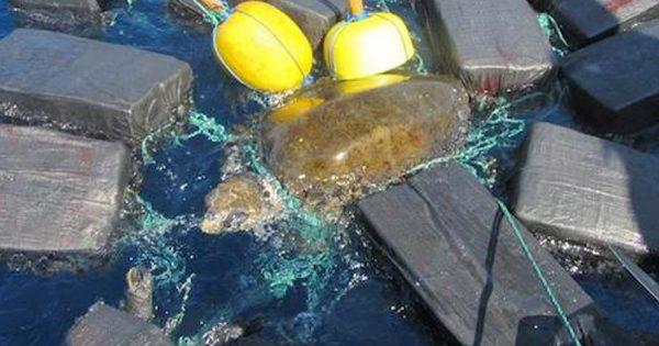 Tartaruga encontrada presa a… MILHÕES DE DOLARES de Cocaína