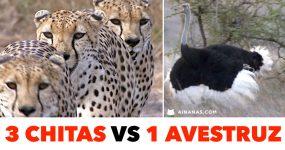3 CHITAS vs 1 AVESTRUZ