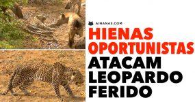 HIENAS oportunistas atacam Leopardo Ferido