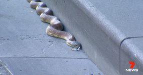 Cobra Tigre chega AO CENTRO de Melbourne