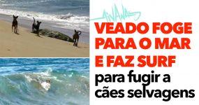 Veado foge para o mar e faz surf para fugir a cães selvagens