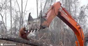 DEVASTADOR: Orangotango tenta impedir que destruam a sua casa