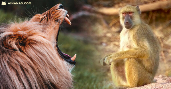 ALIANÇA IMPROVÁVEL entre babuínos e leões na Tanzânia