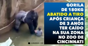 Gorila Abatido a Tiro após Criança ter Caído no seu Espaço