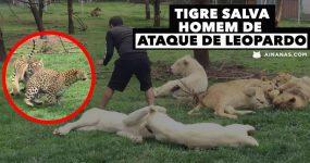 Tigre Salva Homem de Ataque de Leopardo