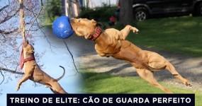 SUPER PIT BULL: O Treino de Elite de um Cão de Guarda TOP