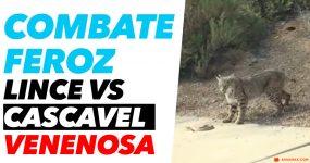 LINCE vs CASCAVEL VENENOSA: Quem vence ?
