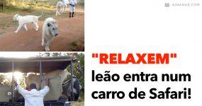 """""""RELAXEM"""": leão entra num carro de Safari"""