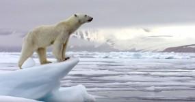 Ursa Polar Faminta Surpreende Foca e Caça-a com Astúcia!