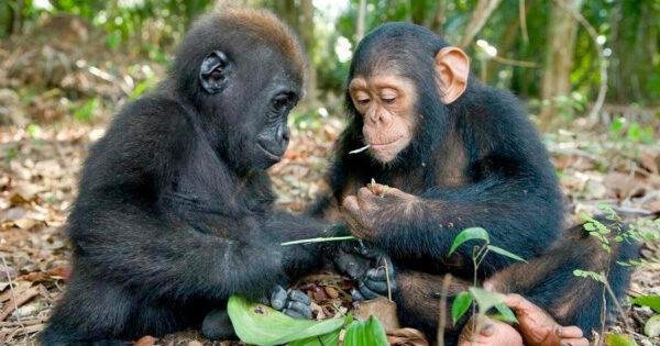PLANETA DOS MACACOS: Chimpanzés e Gorilas entraram em Guerra