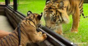 Tigres bebés vêem pela primeira vez um Tigre Adulto
