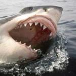 Jaula com Mergulhadores é atacada por Tubarão Branco